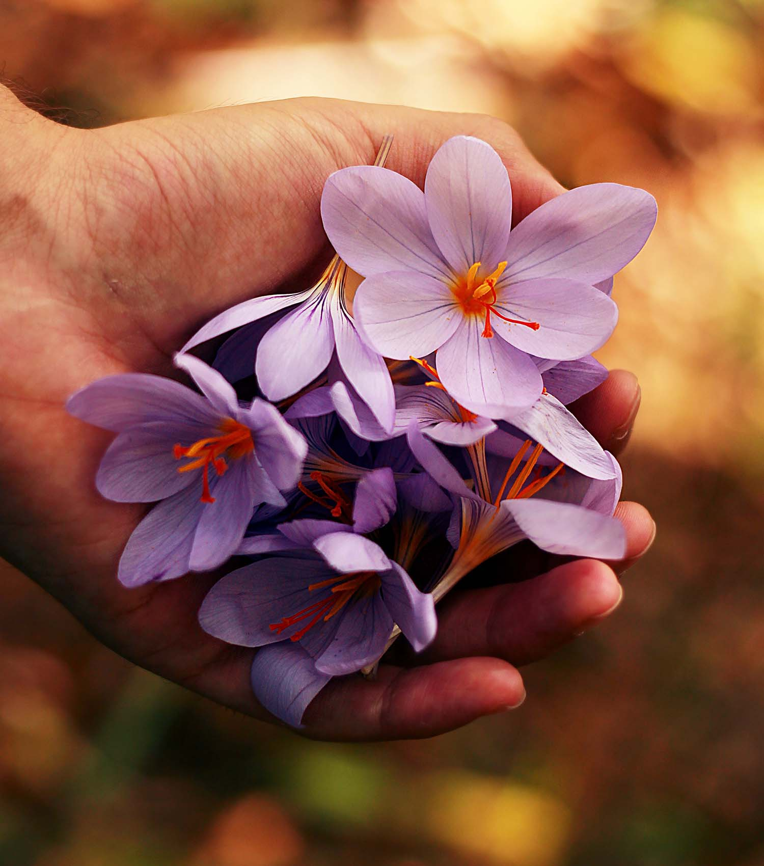 Delicate purple crocus flowers in hand from late winter as spring and hope comes