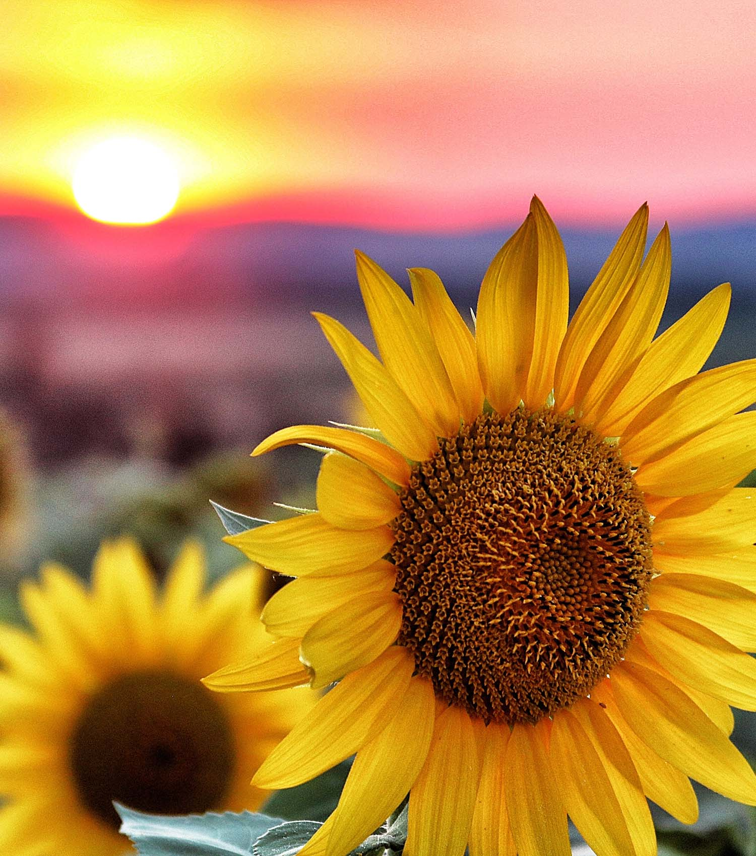 Yellow sunflowers in field for long life, good fortune and vitality
