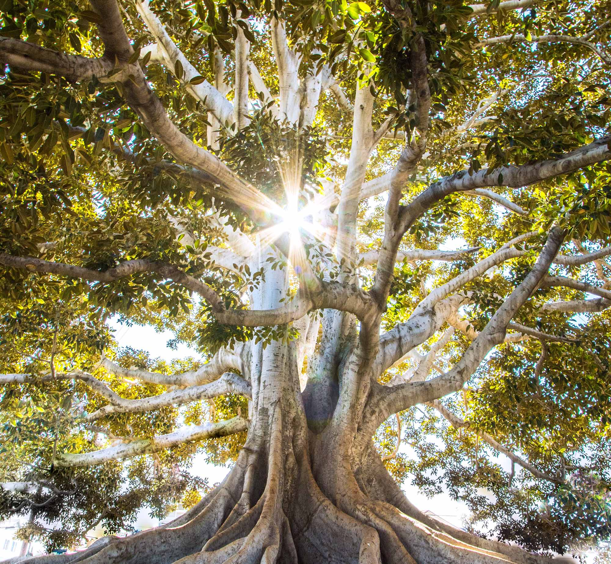 Magnificent rooted Ficus tree with sunlight as key to understanding and knowledge